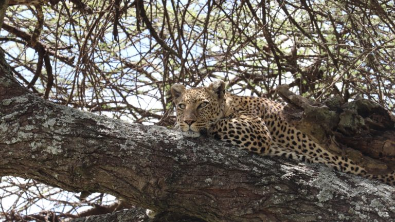 Cheetah on a tree - King lion Tours And Safaris Safari 5gg Amboseli Taita Hills Tsavo Est