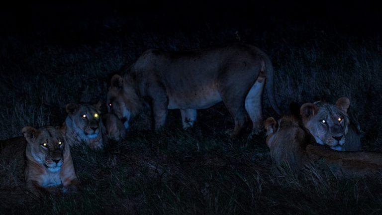 Group of Lions - Safari Kenya
