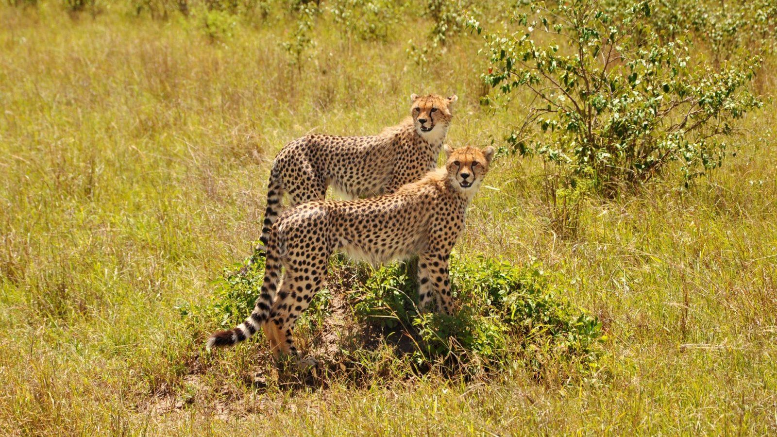Safari 1gg Tsavo Est Cheetah couple Safari 1 Day Tsavo East Safari 1 Tage Tsavo Ost
